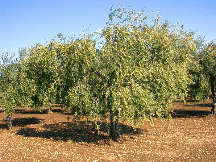 Albero olive di peranzana